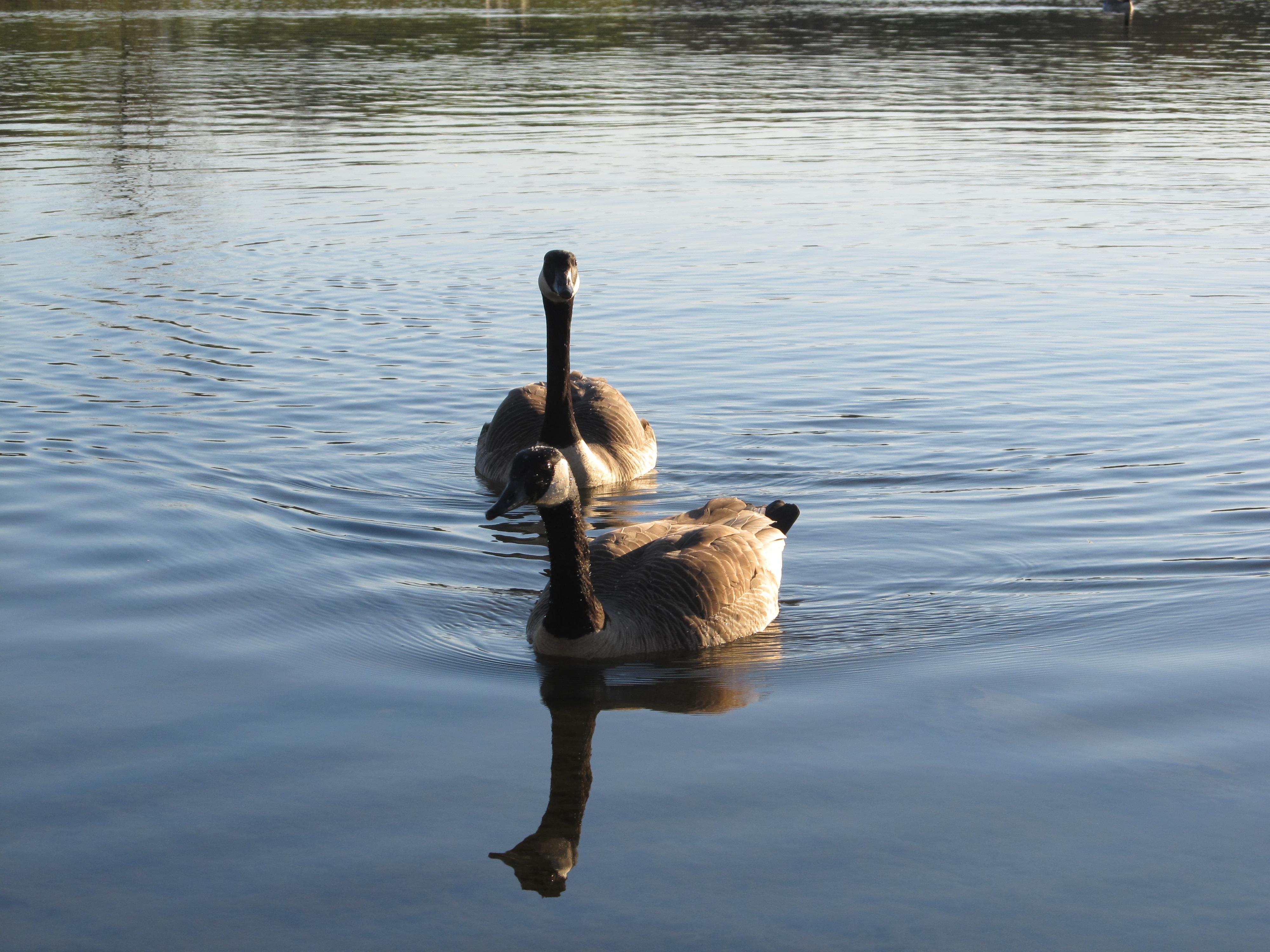 Geese at Big Bend Lake – 2012